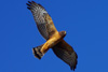 NorthernHarrier_small