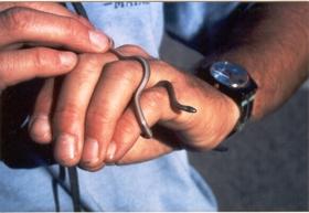 Southwestern Blackhead Snake snake