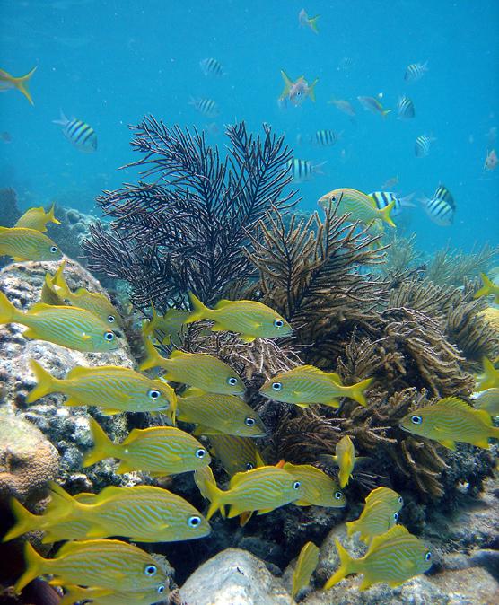 French grunts virgin islands national park u s for Virgin islands fishing