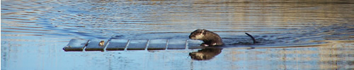 otter climbing onto floating board
