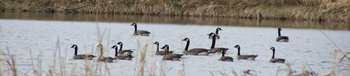 Canada Geese floating on pond