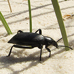 Black beetle on white sand