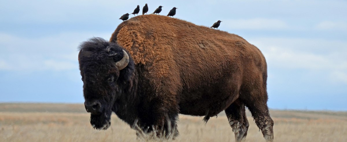 Bull bison with cow birds on its back