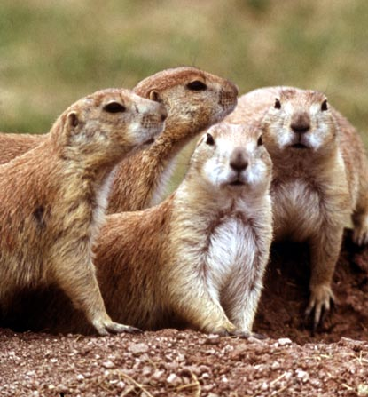 http://www.nps.gov/wica/naturescience/images/Prairie-Dogs.jpg
