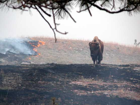 A bison walks along a burn line during a 2004 prescribed burn in Wind Cave National Park.