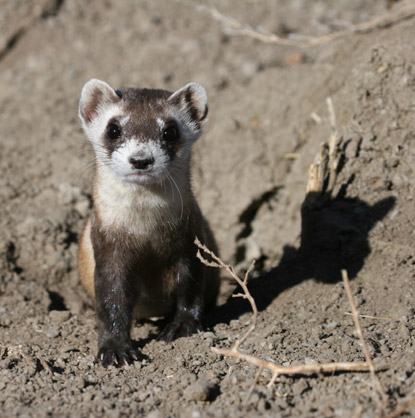 Wildlife Video Clips - Black-footed Ferrets