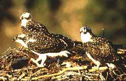 The young osprey sit in their nest.