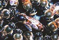 A Queen bee is surrounded by her workers.