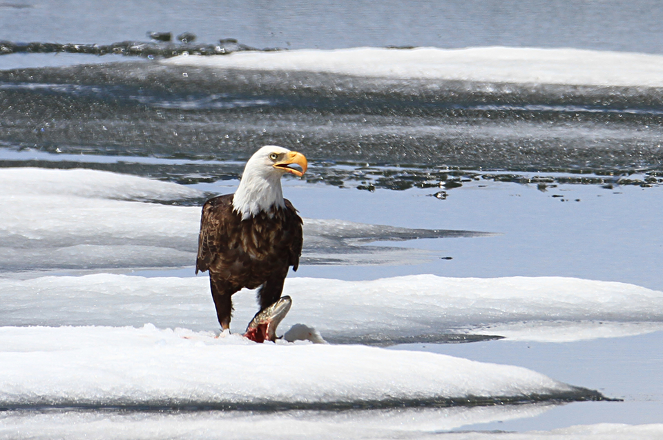 A large dark bird with a white head a large yellow beak stands over a fish carcass near snow banks and a large body of water.