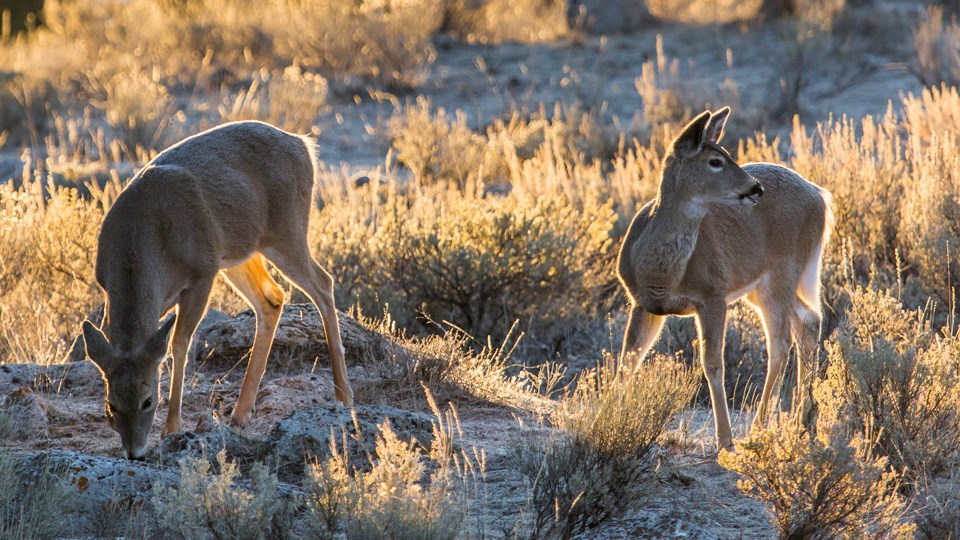 White-tailed deer grazing in sagebrush.