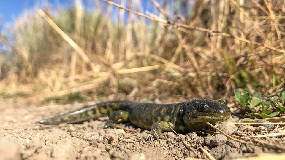 A reptile pauses on the ground.