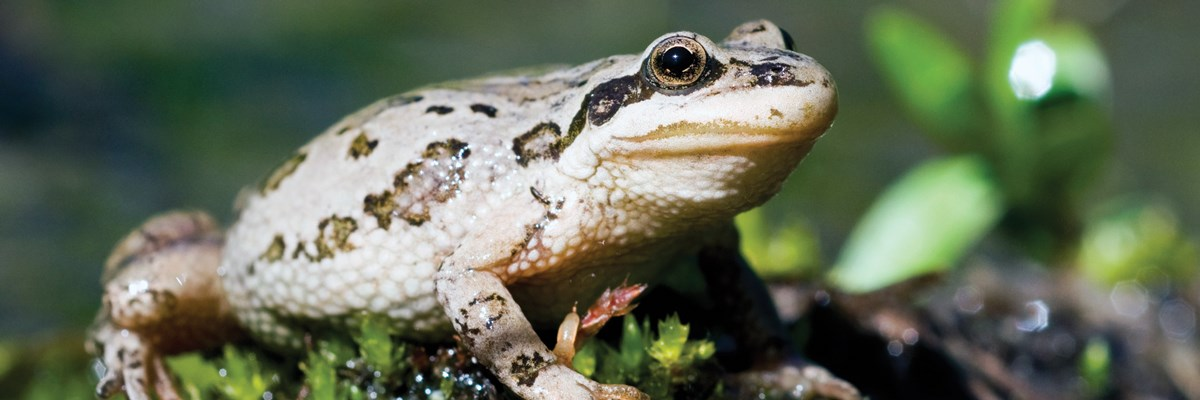 A tan frog with black spots on a glistening moss