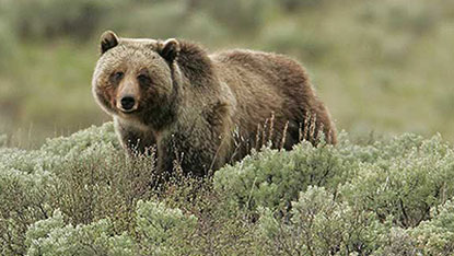 A grizzly bear standing in sage brush.