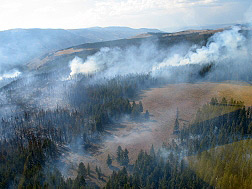 Smoke pours from a lodgepole forest.