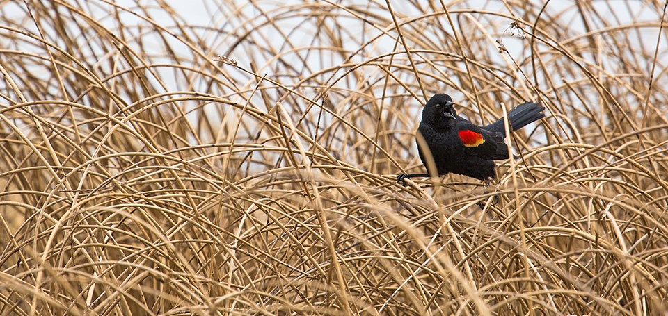 A red-winged blackbird sits in vegetation