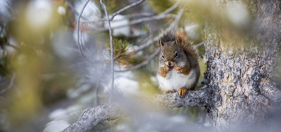Red squirrel in branches
