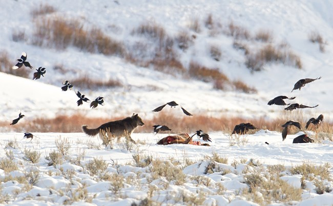 Wolf approaches a carcass and ravens go flying.