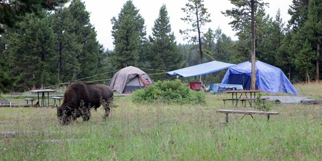 A bison grazes near picnic tables and tents in a grassy area